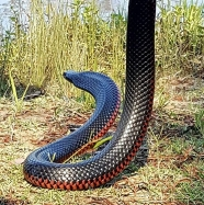 black snake in brisbane removed