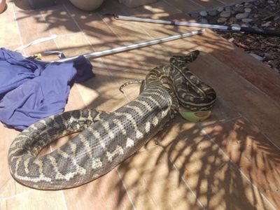 Python removed from brisbane property